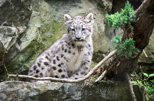 snow leopard by Eric Kilby