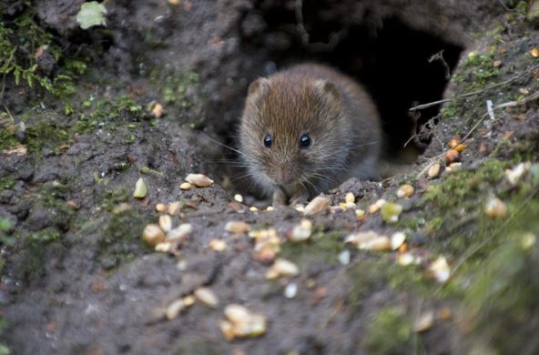 Bank vole ©claire spelling