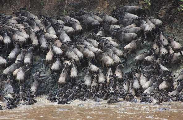 Mara wildebeast migration CC by Chrris Dutton