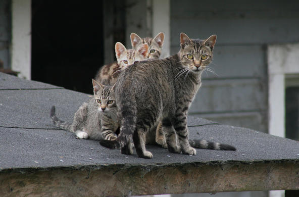 cats on roof CC; Chriss Haight Pagani