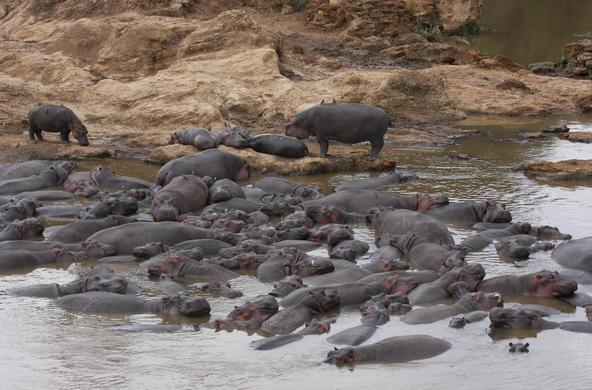 Hippos congregate in pools along the Mara River. CC: Christopher Dutton