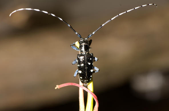 Asian long-horned beetle. CC: R. Anson Eaglin.