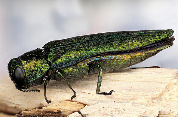 Emerald Ash Borer Credit: David Wagner