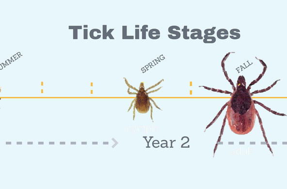 Tick life stages CC Leslie Tumblety
