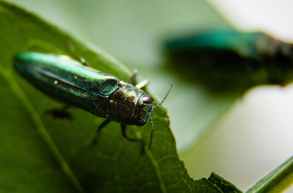 emerald ash borer cc chesapeake bay program