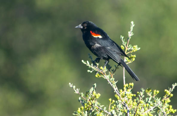 redwing blackbird cc angelique