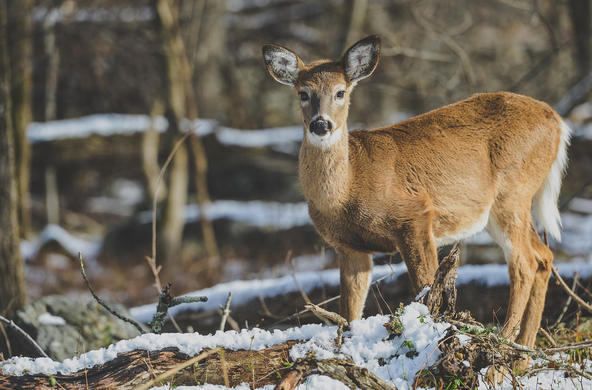white-tailed deer ©
