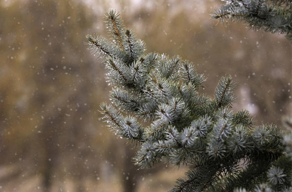snow on pine tree