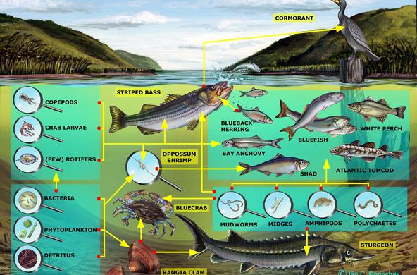Brackish Channel Food Web