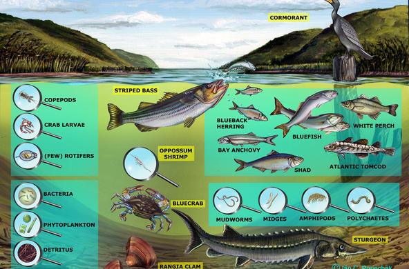 Brackish Channel Food Web- No arrows