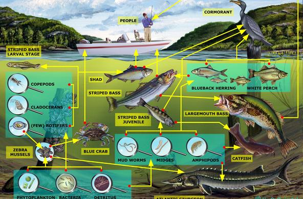 Freshwater Channel Food Web