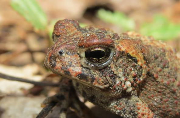 This toad is glamorous.