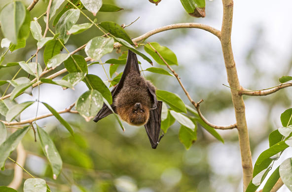 fruit bat cc tambako