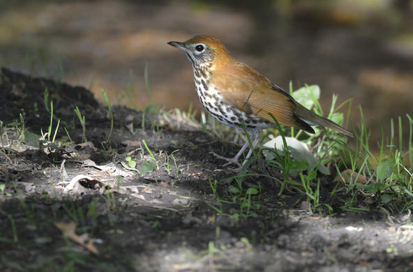 wood thrush cc andy reago