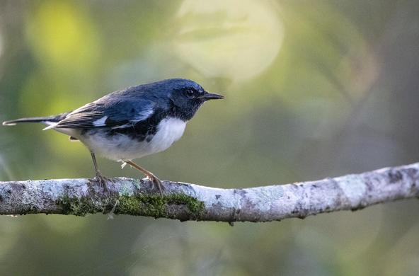 black_throated_blue_warbler_cc_dennis_church