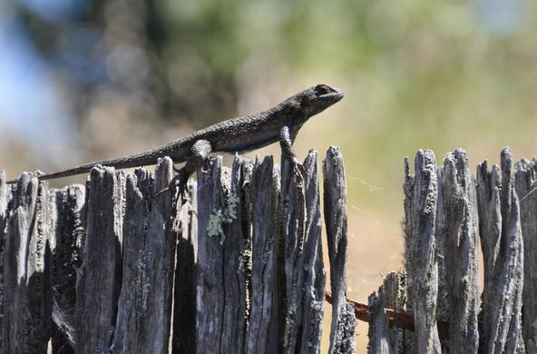 fence lizard cc chris_samuel