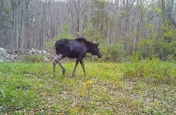 moose on cary campus