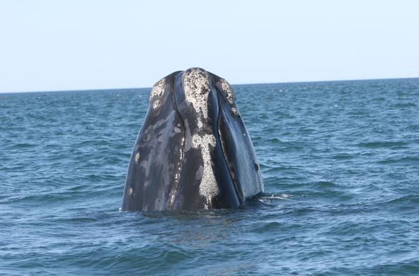 right whale Florida Fish and Wildlife Conservation Commission