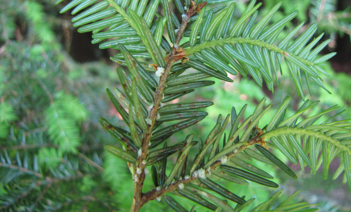 Hemlock Woolly Adelgid, CC Cary Institute