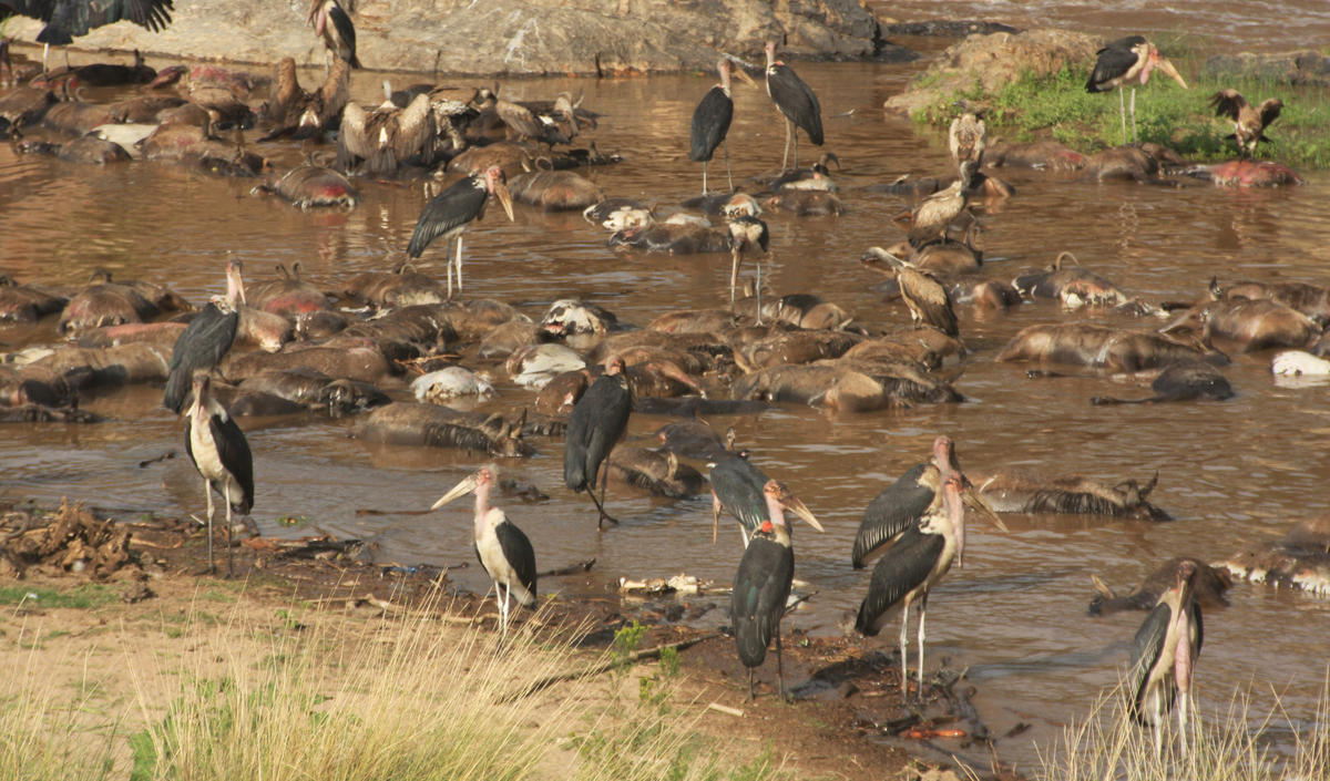 Marabou storks feeding on the carcasses of drowned wildebeest. CC by Amanda Subalusky
