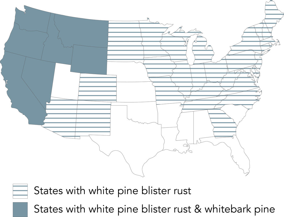 invasive pests US map: white pine blister rust
