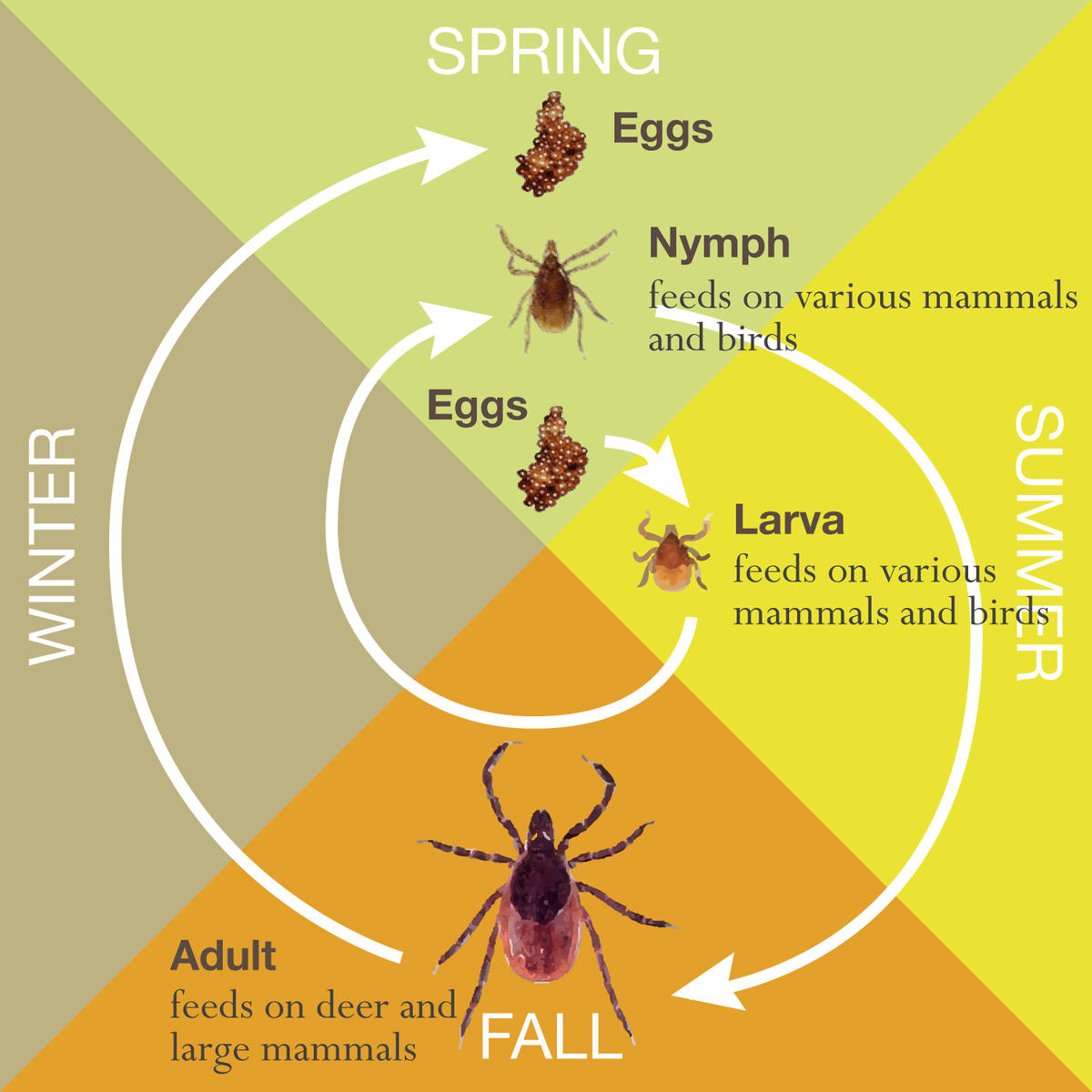 tick stages
