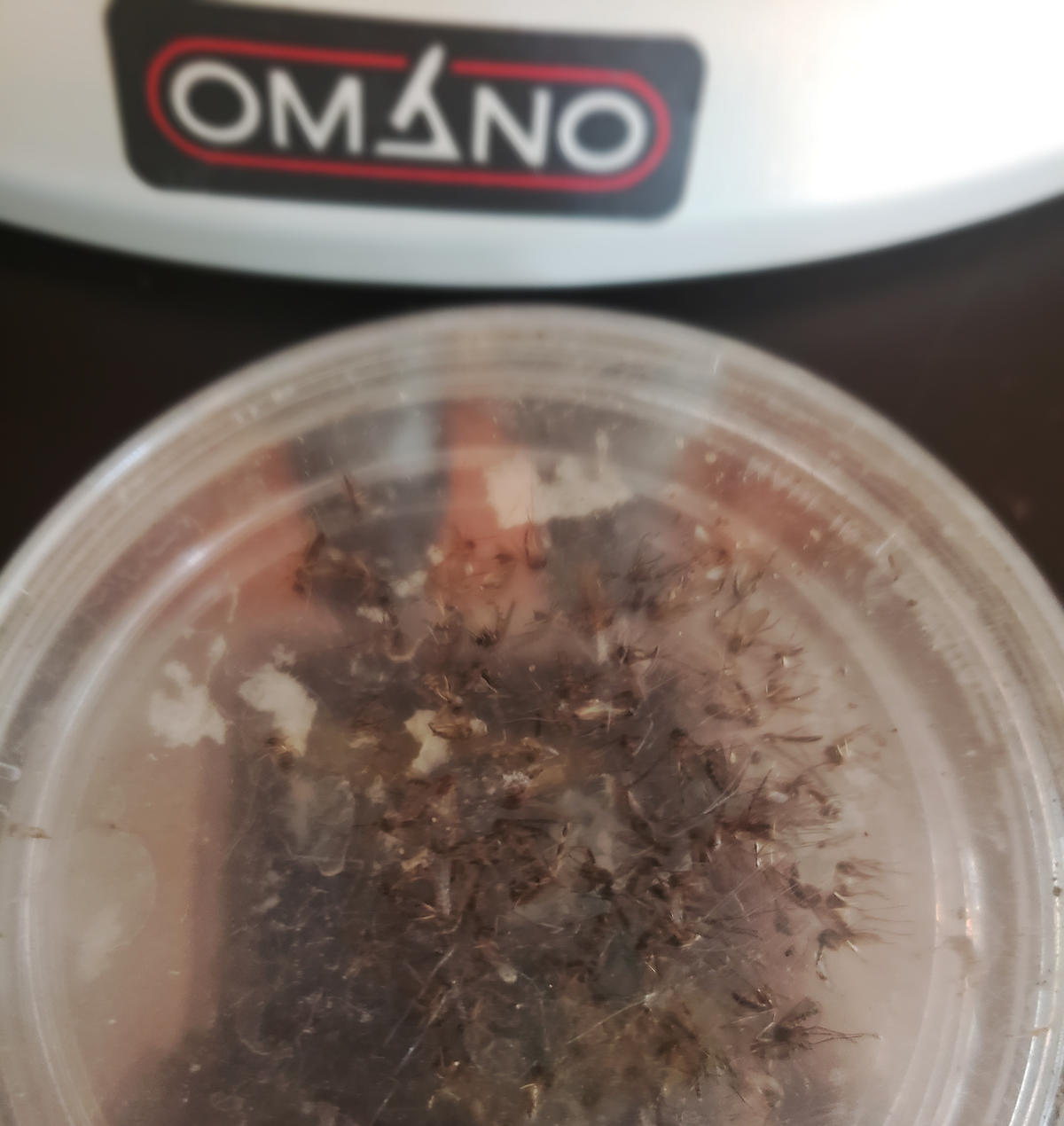 Frozen adult mosquitoes in a petri dish cc Emmanuel Kotey