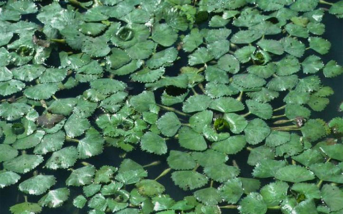 Oxygen Levels and Invasive Aquatic Plants   Cary Institute ...