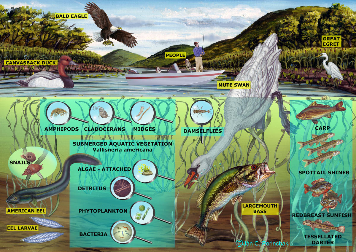 Freshwater Shallows Food Web - No Arrows