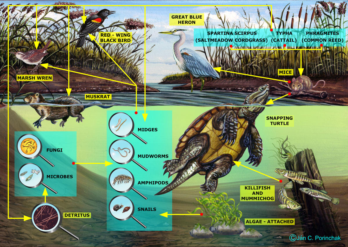 Marsh Food Web